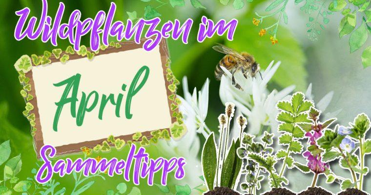 Wildkräuter im April – das hat der Monat für Sammler zu bieten