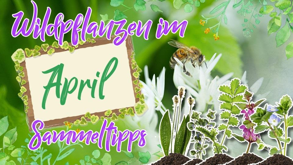 Wildkräuter im April sammeln